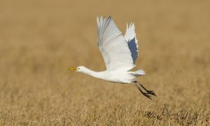 Cattle Egret | Koereiger
