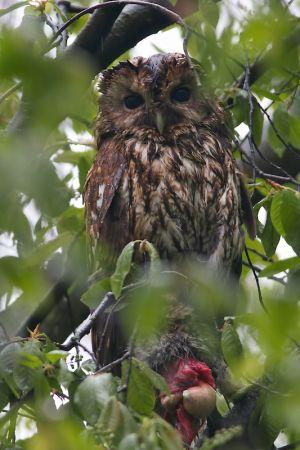 Tawny Owl with Kill