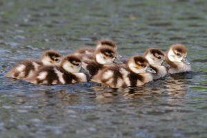 Seven chicks out of Eight