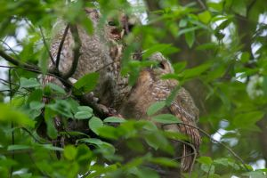 Tawny Owl with two chicks
