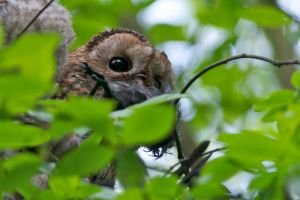 Tawny owl with another Kill