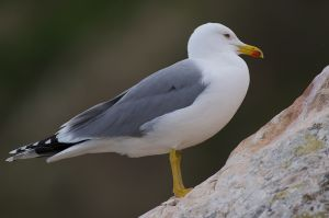 Yellow-legged Gull | Geelpootmeeuw