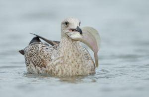 Herring Gull juv. | Zilvermeeuw