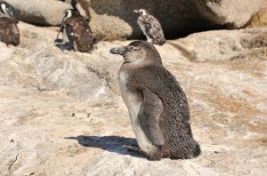 African Penguin | Zwartvoetpinguïn