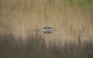 Common Redshank | Tureluur