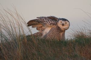 Snowy Owl | Sneeuwuil