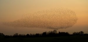 Common Starling   Spreeuw