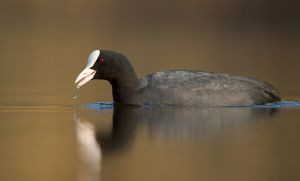 Common Moorhen | Waterhoen