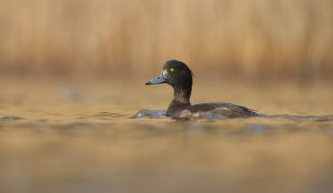 Tufted Duck fem. | Kuifeend