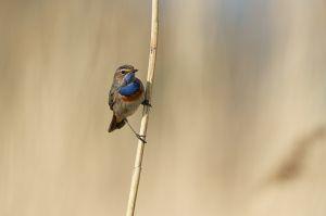 Bluethroat   Blauwborst