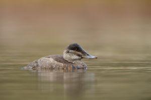 Ruddy Duck fem.  Rosse Stekelstaart