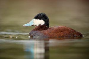Ruddy Duck   Rosse Stekelstaart