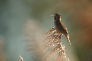 Savi's Warbler | Snor