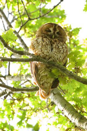 Tawny Owl | Bosuil