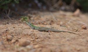Italian Wall Lizard | Ruïnehagedis