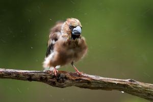 Hawfinch   Appelvink