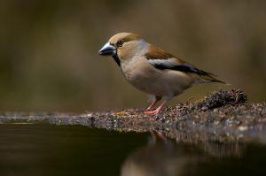 Hawfinch fem.  Appelvink