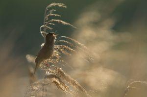 Savy's Warbler   Snor