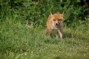 Red Fox juv. | Vos