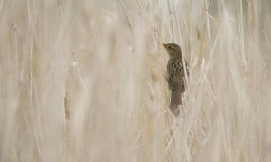 Common Grashopper Warbler | Sprinkhaanzanger