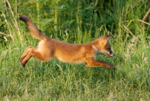 Red Fox juv. | Vos