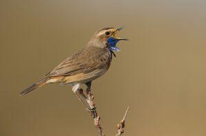 Bluethroat male | Blauwborst
