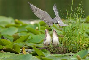 Black Tern juv. | Zwarte Stern