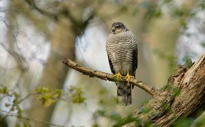 Sparrowhawk fem.   Sperwer