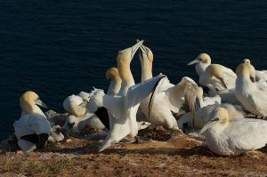 Northern Gannet | Jan-van-Gent