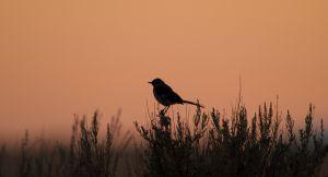 Northern Mockingbird | Spotlijster