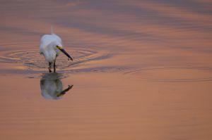 Snowy Egret | Amerikaanse Kleine Zilverreiger
