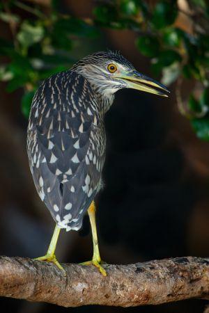 Black-crowned Night-heron, Thailand, 2012