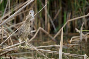 Black-crowned Night-heron, USA, 2014