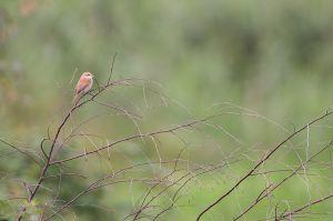 Red-backed Shrike juv.   Grauwe Klauwier