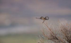 Loggerhead Shrike | Amerikaanse Klapekster