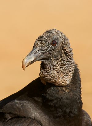 Black Vulture | Zwarte Gier