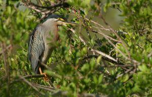 Striated Heron | Mangrovereiger