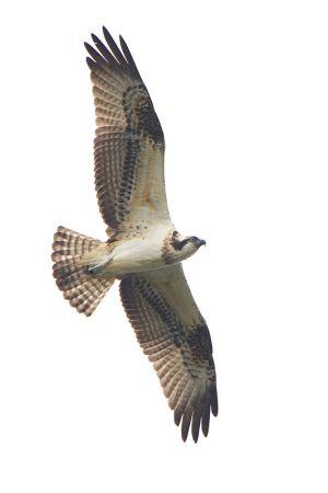 Osprey juv.   Visarend