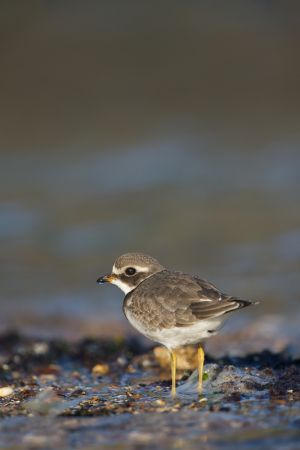 Common Ringed Plover juv. | Bontbekplevier