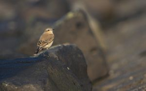 Northern Wheatear | Tapuit