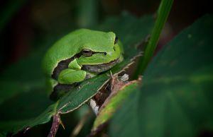 European Tree Frog | Europese Boomkikker