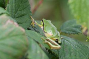 opean Tree Frog | Europese Boomkikker
