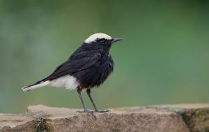 White-crowned Wheatear | Witkruintapuit