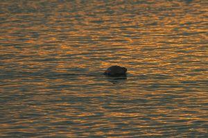 Common Seal | Gewone Zeehond