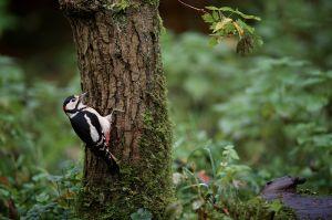Great Spotted Woodpecker | Grote Bonte Specht