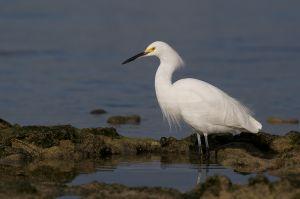 Snowy Egret | Egretta thula