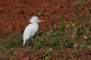 Cattle Egret | Bubulcus ibis