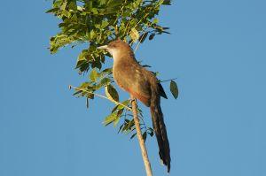 Cuban Lizard-Cuckoo | Coccyzus merlini