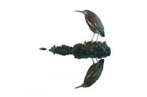 Green Heron | Butorides virescens