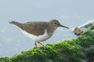 Spotted Sandpiper | Actitis macularia